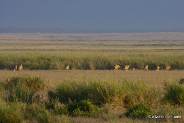 amboseli lions