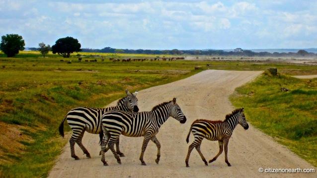 amboseli zebra