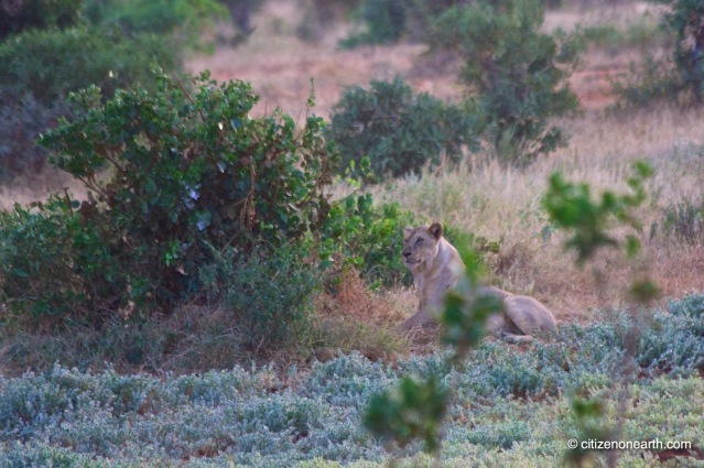 kenya amboseli lion