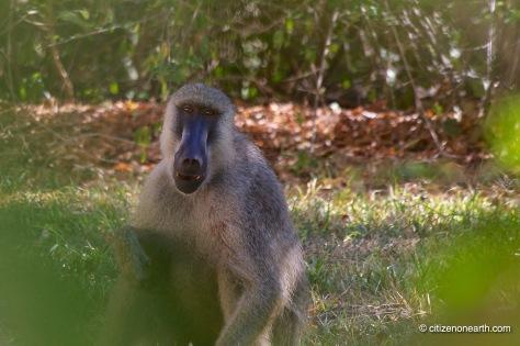 kenya mombasa baboon