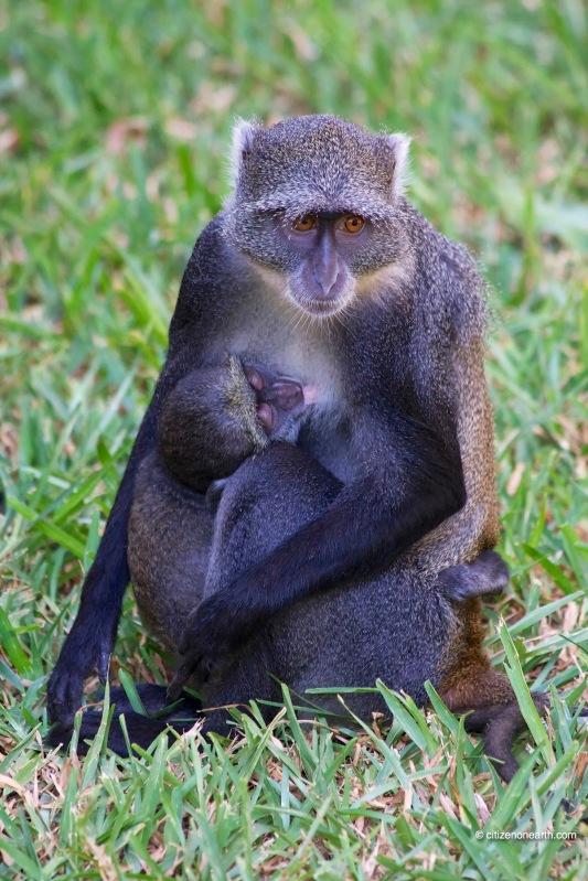 kenya mombasa monkey