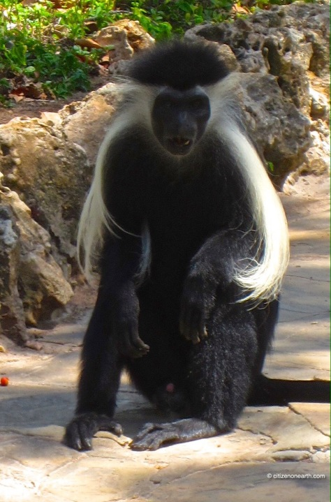 kenya mombasa white hair monkey
