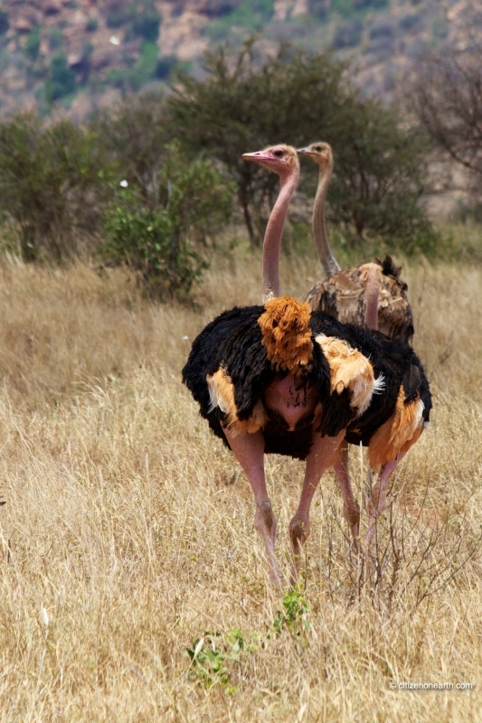 kenya tsavo west ostrich
