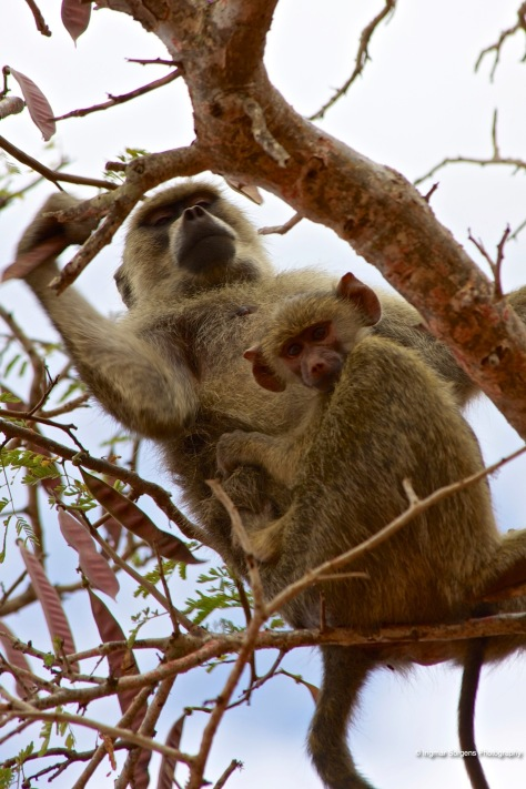 tsawo east baboon