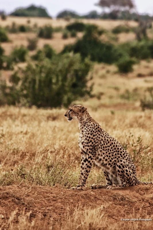 tsawo east cheetah