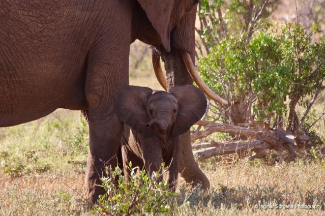 tsawo east elephant calf