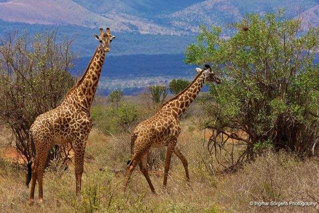 Tsawo west giraffes