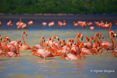 mexico celestun pink flamingos