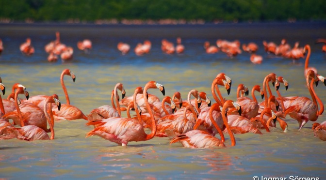 Pink and loud flamingos in Celestun