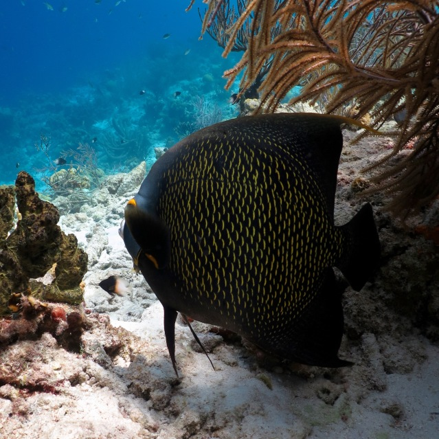 Klein Bonaire French Angelfish Woodwind