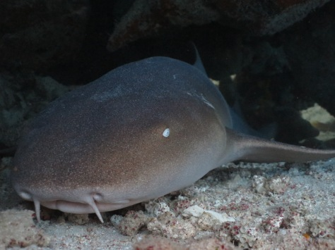Klein Bonaire nurse shark face woodwind