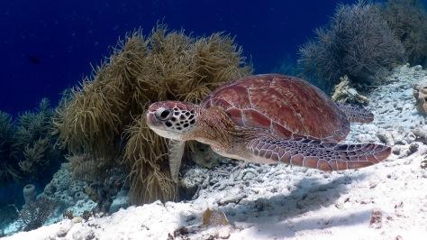 Klein Bonaire sea turtle woodwind 2