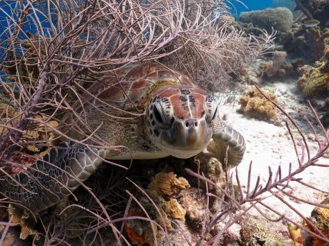 Klein Bonaire sea turtle woodwind