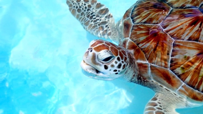 Swimming with Sea Turtle in Mexico