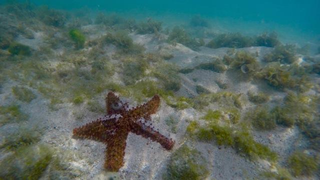 aruba-arashi-beach-starfish