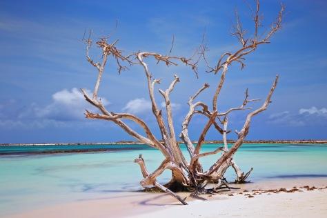 aruba baby beach dry fofoti tree