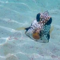 Curious Trunkfish