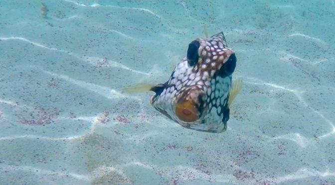 Curious Trunkfish