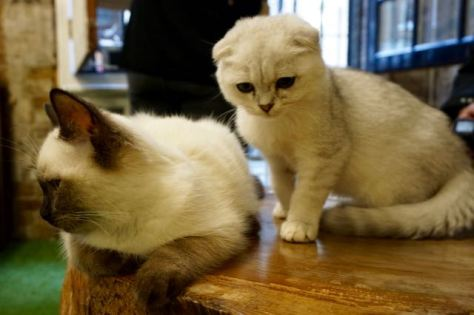 how can i visit a cat cafe in london