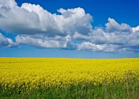 Things to do in Rügen Island in Baltic Sea in North East Germany - Yellow Rape Conola Fields