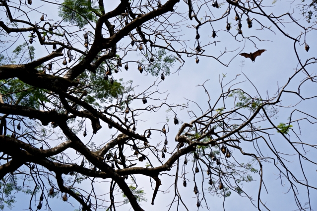 2 days in Kandy Central Province of Sri Lanka - Royal Botanical Garden - Observing the bats hanging in the trees