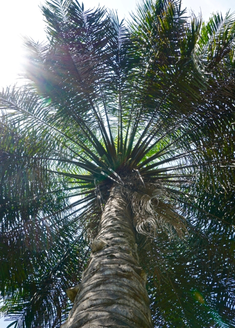 2 days in Kandy Central Province of Sri Lanka - Royal Botanical Garden - One of the huge Palm Trees