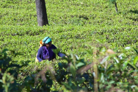 2 days in Nuwara Eliya Hill Country Sri Lanka Tea Pickers in Tea Plantations