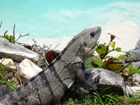 Things to do in Riviera Maya - Mexico - Iguanas all over Tulum