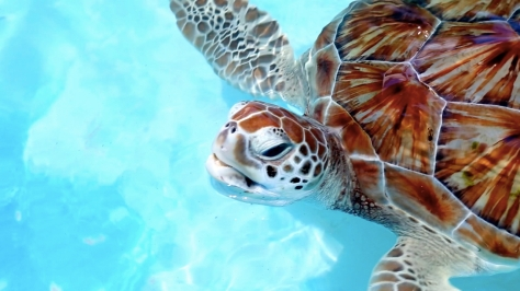 Things to do in Riviera Maya - Mexico - Snorkeling with Sea Turtles in Akumal